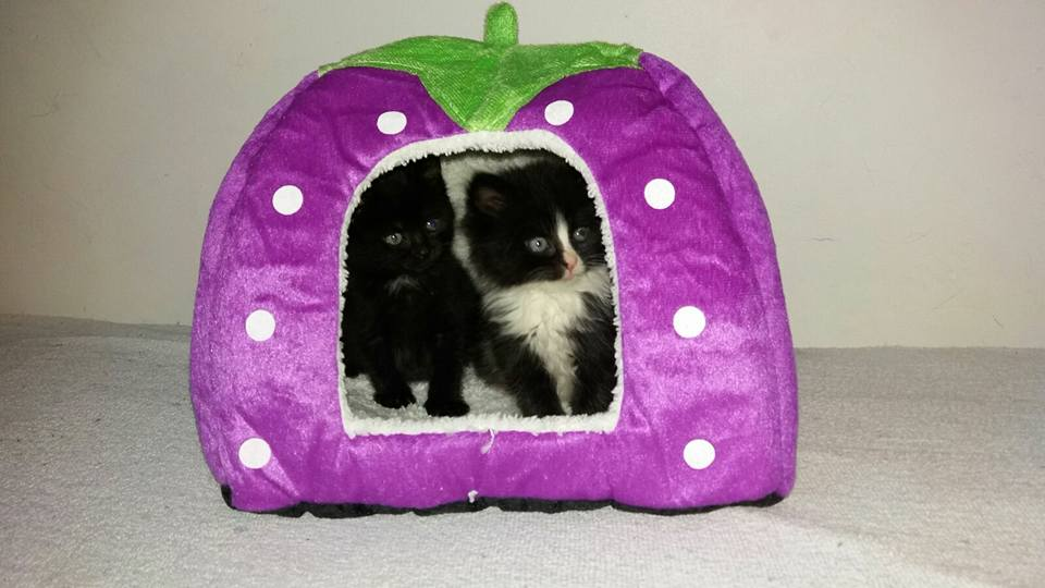 mandje aardbei kitten